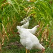 Stock Photo: Chickens Under Sweet Corn Canopy