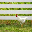 Stock Photo: Rooster Courting Hen