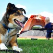 Friendly Dog Camping — Stock Photo