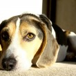 Sad Beagle Dog — Stock Photo