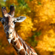 Giraffe Sticking Out Tongue — Stock Photo