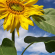 Stock Photo: Single Sunflower Basking in Sun