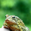 Frog Portrait — Stock Photo