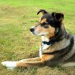 Постер, плакат: Alert German Shepherd Mix Dog