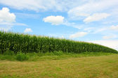 Curving Cornfield — Stock Photo