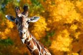 Žirafa trčí jazyk — Stock fotografie