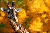 Giraffa davanti alberi gialli — Foto Stock