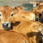 Baby Jersey Calves — Stock Photo #31660321