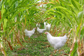Chickens and Roosters Under Corn — Stock Photo