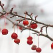 Stock Photo: Winter Crabapple Tree Branch Covered in Ice