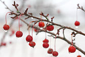 Winter Crabapple Tree Branch Covered in Ice — Stock Photo