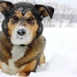 German Shepherd Dog Outside Covered in Snow — Stock Photo #40485919