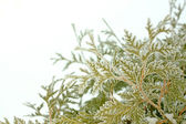 Ice and Snow Covered Arborvitae Tree in Winter — Stock Photo