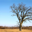 Gnarly Bare Branched Old Oak Tree Isolated in Country — Stock Photo #44222043