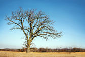 Lone Bare Branched Winter Tree in the Country — Stock Photo