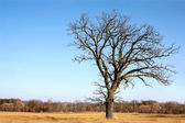 Gnarly Bare Branched Old Oak Tree Isolated in Country — Stock Photo