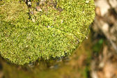 Mossy Tree Stump in Forest — Stock Photo