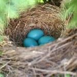 Robin's Eggs Gathered in Bird Nest in Tree — Stock Photo #48622981