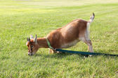 Hungry Pet Goat Pulling on Leash — Stock Photo