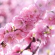 Sakura — Stock Photo