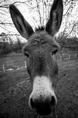 The face of a donkey — Stock Photo