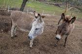 Osły na farmie — Zdjęcie stockowe