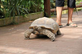 Tartaruga-gigante — Foto Stock