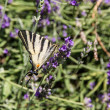 Iphiclides podalirius butterfly — Stock Photo