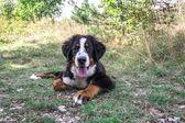 Cachorro boyero — Foto de Stock