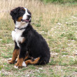 Bernese Mountain Dog puppy — Stockfoto