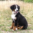 Bernese Mountain Dog puppy — Foto Stock