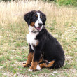 Bernese Mountain Dog puppy — Stok fotoğraf