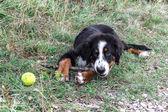 Bernese Mountain Dog puppy — Stock Photo