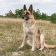 German Shepherd Dog adult — Stock Photo