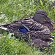 Duck with duckling — Foto Stock