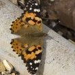 Painted Lady Butterfly (Vanessa cardui) — Stock Photo #25854657