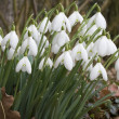 Galanthus nivalis - Snowdrops — Stock Photo