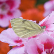 Green-veined White (Pieris-napi) on Geranium — Stock Photo