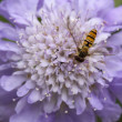 Foto de Stock  : Hover Fly on Scabiosa