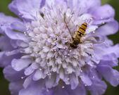 Hover mosca en scabiosa — Foto de Stock