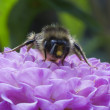 Bee on a Dahlia Pompon — Stock Photo