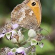 Stock Photo: Gatekeeper Butterfly (Pyronitithonus) on Bramble Blossom