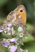 Gatekeeper Butterfly (Pyronia tithonus) on Bramble Blossom — Stock Photo