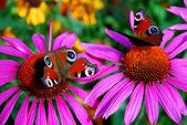 Butterfly peacock — Stockfoto