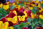 Pansy violets — Stock Photo