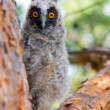 Stock Photo: Owlet