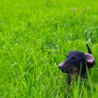 Stock Photo: Dachshund dog on green grass