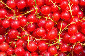 Red currants background — Stock Photo
