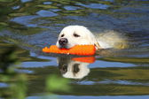 Working Golden Retriever in a river — Stock Photo