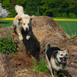 Two Dogs are playing — Stock Photo #27074477